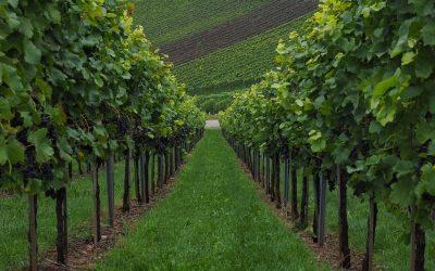 Cépage Bordeaux: Quels sont les cépages du bordelais?